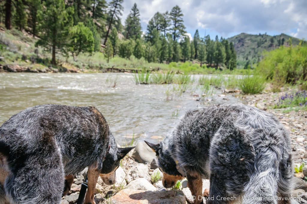 Dogs Exploring River