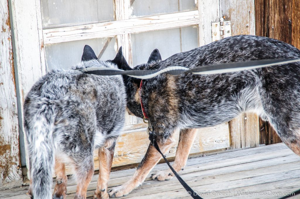 Dogs in a ghost town